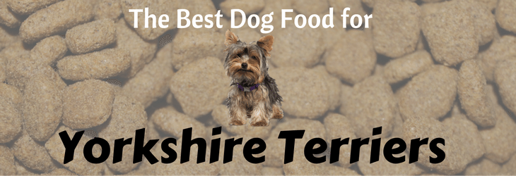 Yorkshire Terriers feat img