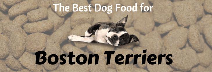 boston-terrier-feat-update